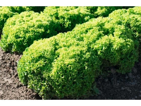 Lechuga Green Lollo Biondonna