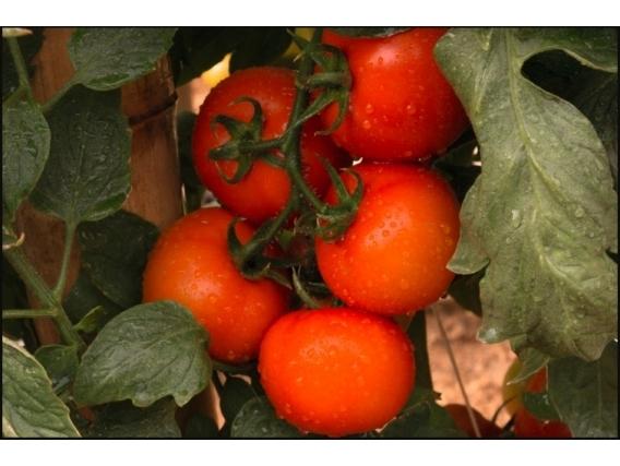 Tomate Indeterminado Redondo Tosmar F1